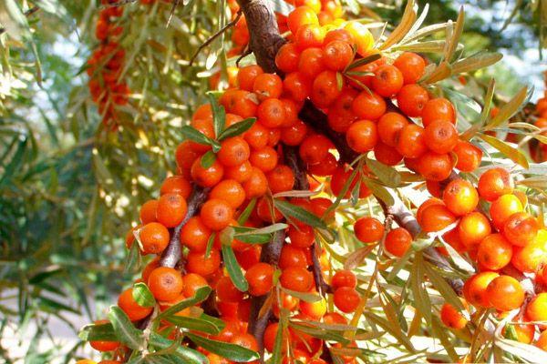 Paggamot ng soryasis sa mga herbs | Mahusay na tungkol sa